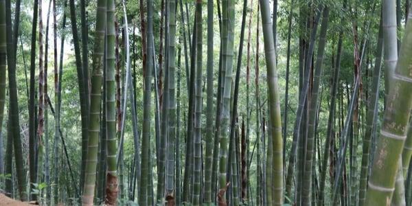 Debunked: 8 miti sul bamboo Moso